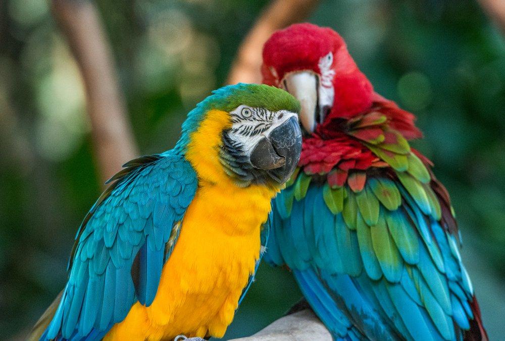 As araras estão entre as estrelas do Parque das Aves, em Foz do Iguaçu   Crédito: Shutterstock